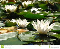 lilies on pond | Blooming white lilies with green leaves on the pond during bright ...