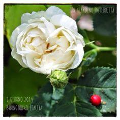 In diretta dal giardino: buongiorno Italia! 251/365 Alba Semi-Plena #giardino #rose #giardinoindiretta