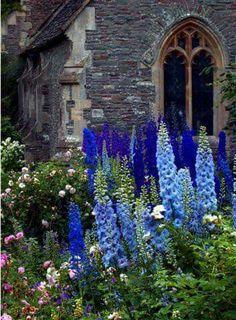 Beautiful Gardens, Beautiful Flowers, Beautiful Things, Blue Delphinium, Delphiniums, English Country Gardens, Garden Cottage, Dream Garden, Garden Inspiration