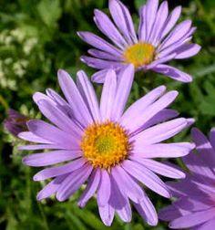 Flores ornamentales: Aster alpino (Aster alpinus)