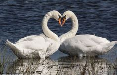 Swan Heart at Rutland Waters in Octobe via mailonline