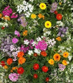 "Amazon.com: Fragrant Flower Mix - Grow Fragrant Garden Flowers. Includes: (1) Pre-seeded  17"" x 5' Flower Seed Mat. Simply Roll out, plant and grow. Instant garden mat for flowering bushes. SEEDS OF: Celosia, delphinium, cosmos, globe amaranth, salvia, sunflowers, zinnia, marigolds and baby's breath: Patio, Lawn & Garden"