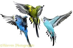 Warren Photographic�s Budgerigars, animals in action images. Three birds about to alight for advertising and marketing, WP10313. info@warrenphotographic.co.uk
