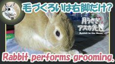 毛づくろいは右脚だけ?【ウサギのだいだい 】 performs grooming 2015年12月28日