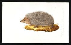 Porcupine, early naturalist illustration, the Levant.