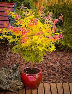 Shop Japanese Maple Trees, available online in all colors and sizes. We carry the most popular Japanese Maple varieties, and only stock top quality trees. Planting Flowers, Plants, Japanese Maple Garden, Japanese Plants, Japanese Garden Design, Zen Garden, Japanese Garden, Japanese Maple Tree Landscape, Specimen Trees