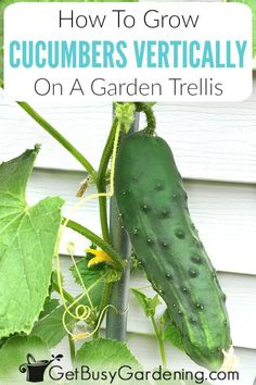 Growing Cucumbers On A Trellis: How To Grow Cucumbers Vertically Growing climbing cucumber plants vertically on a trellis is easy, and beneficial. Learn exactly how to grow cucumbers ve. Cucumber Plant, Cucumber Trellis, Cucumber Flower, Small Flower Gardens, Small Flowers, Flowers Garden, Garden Birds, Gardening For Beginners, Gardening Tips