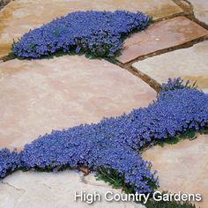 Veronica - so many different uses in the landscape. At home in the rock garden, between flagstones in the patio or as a slow growing but long-lived ground cover in the xeric garden, this little plant always looks good.