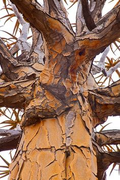 Detail of quiver tree, near Keetmanshoop, Namibia