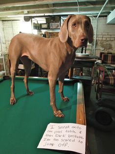 """I sneak onto the pool table & then bark because I'm too scared to jump off."" - Flyin' Maya"