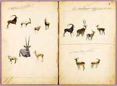 Antelopes, study folder for book Concealing Coloration in the Animal Kingdom, Abbott Handerson Thayer and others