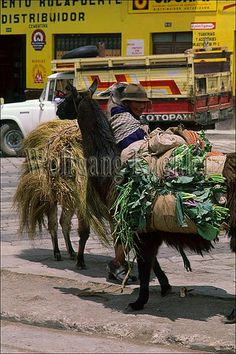 Ecuador, highlands, pujili, local indian market, woman with llamas used for transportation