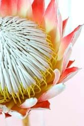 . Exotic Flowers, Beautiful Flowers, Beautiful Things, Flower Pictures, Art Pictures, Protea Flower, Language Of Flowers, Seasonal Flowers, Air Plants