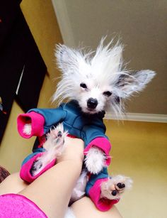 Tiny Timmy Chinese Crested