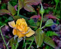 ✔ 20 fotos de rosas de colores para compartir - Free photos of colorful roses | BANCO DE IMAGENES