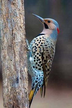 The Northern Flicker (Colaptes auratus) is a medium-sized member of the woodpecker family.