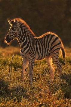 A Zebra calf in warm morning light. Image taken in Addo Elephant National Park in South Africa's Eastern Cape. My most favourite animal, love all wild life but a zebra . Vida Animal, Mundo Animal, Zebras, Beautiful Creatures, Animals Beautiful, Safari, Baby Animals, Cute Animals, Wild Animals