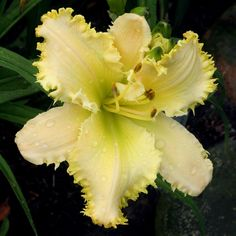 Daylily (Hemerocallis 'The Sting!') in the Daylilies Database (All Things Plants)