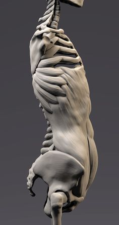 Rib Cage Anatomy, 3d Anatomy, Human Anatomy Drawing, Anatomy Sketches, Anatomy Study, Anatomy Reference, Drawing Body Proportions, What Is Sculpture, Anatomy Sculpture