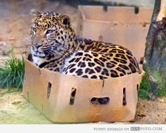 "big cat, small cat...every ""cat"" loves a cardboard box. doesn't it make you smile."