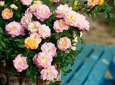 Sweet drift and coral are two fragrant drift roses that will not get too tall. Low maintenance and resistant to fungus issues.