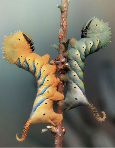 Colour variations of the death's-head hawkmoth caterpillar.   For more info on Acherontia atropos, see here:http://bit.ly/Y3ITcX