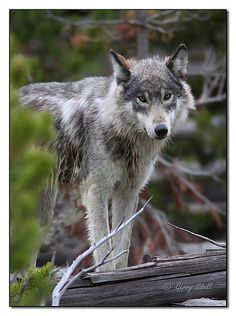 Wolf... By Artist Gerry Sibell ....