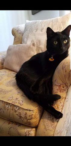 sex Black kitten ts