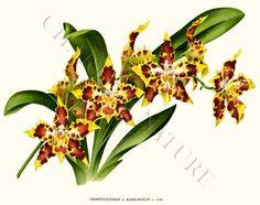 'Odontoglossum x Rubiginosum' giclee print via Charting Nature http://www.chartingnature.com/orchid-print.cfm/Odontoglossum-rubiginosum%20Orchid%20Art%20Print/6517