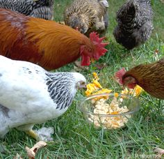 Take preventative measures to keep your chickens worm-free by growing and feeding them these natural de-worming plants.