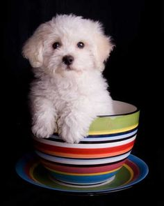 teacup puppy - i WILL have one of these one day!
