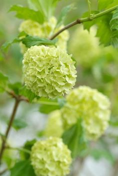 Viburnum opulus ´Roseum' also is a forcing shrub for cutting. The pastel green colour nicely blends with red catkins. Viburnum Opulus, Plants, Woodland Garden, Evergreen Plants, Beautiful Flowers, Outdoor Gardens, Garden Inspiration, Flowers, Garden Plants