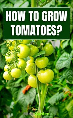 HOW TO GROW TOMATOES? When you see the weather is suitable for your tomato plants then you can transfer them outside. Choose a sunny spot for your plants so they propagate properly. A tomato cage is very helpful for providing support as the plant grows larger. Growing Plants From Seeds, Growing Vegetables In Containers, Home Grown Vegetables, Container Gardening Vegetables, Planting Seeds, Kitchen Gardening, Grow Tomatoes, Starting A Vegetable Garden, Tomato Cages