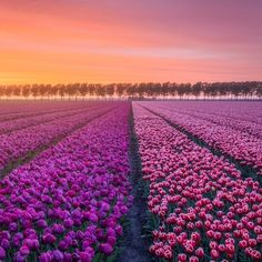 Beauty of the Netherlands in the Springtime Captured in Breathtaking Photos Beautiful Morning, How Beautiful, Beautiful Flowers, Zaanse Schans Windmills, Dragon Blood Tree, Tulip Season, Tulip Fields, Rare Flowers, Blossom Trees
