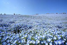 Hitachi Seaside Park, Hitachinaka, Japan. Il punto migliore per ammirarlo è la la collina Miharashi No Oka, dalla quale si vede anche l'Oceano Pacifico.