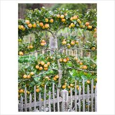 Espalier Trees for your garden - DIY Decorator Edible Landscaping: Espaliered apple tree Espalier Fruit Trees, Fruit Tree Garden, Garden Trees, Apple Garden, Patio Fruit Trees, Dwarf Fruit Trees, Growing Fruit Trees, Citrus Trees, Potager Garden
