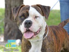 SAFE --- DOZER (A1712504) I am a male brown brindle and white American Bulldog.  The shelter staff think I am about 1 year old and I weigh 66 pounds.  I was found as a stray and I may be available for adoption on 07/24/2015. Miami Dade https://www.facebook.com/urgentdogsofmiami/photos/pb.191859757515102.-2207520000.1437511052./1014838885217181/?type=3&theater