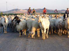 Cycling Through Sheep, Sicily