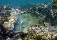 A Yellowfin Bream at Bass Point