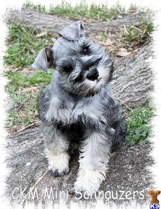 Image detail for -... Salt and Pepper Mini Schnauzer - Miniature Schnauzer Puppies for Sale