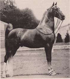 Straight Bourbon f. 1945 sired by Leatherwood King out of Bourbon Glow by Bourbon Snifter (The American Saddlebred: February 1955 stallion report)