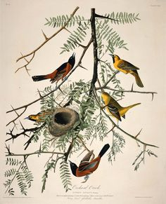 """scientific illustration tumblr  heaveninawildflower: """" Orchard Oriole (1824-38). After John James Audubon ( 1785–1851), Robert Havell, Jr. From 'The Birds of America.' Image and text courtesy MFA Boston. """""""