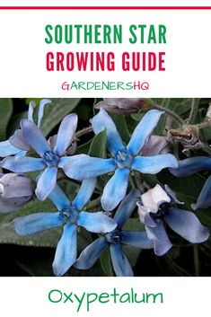 How to Grow Southern Star, Blue Flowered Milkweed, Tweedia & Star of the Argentine. Advice on Growing Oxypetalum Plants in Your Garden.