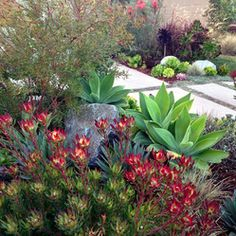 Leucadendron salignum summer red plant in the foreground, I love it.