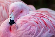 Chilean Flamingo by Jeff McGraw on 500px