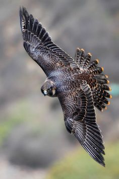 Juvenile Peregrine Falcon | Flickr - Photo Sharing!