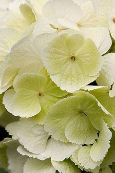 Hydrangea macrophylla 'schneeball' ~The Beauty of Flowers & Gardens Hydrangea Macrophylla, Hortensia Hydrangea, Hydrangea Garden, Hydrangea Flower, Amazing Flowers, Love Flowers, White Flowers, Mellow Yellow, Vegetable Gardening