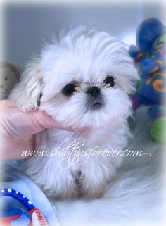 Imperial Shih Tzu Puppies, Imperial Shih Tzu Puppies For Sale