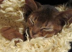 abyssinian cats 101 - Google Search