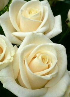 Butter colour Roses